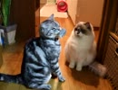 【レオ★ララ】 お気に入りのオモチャと猫