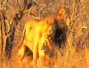 雄ライオン同士の性行為