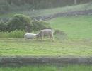 頭突きの練習をする羊が可愛い