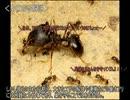 ゆっくり動物雑学「兵隊アリがいる…」