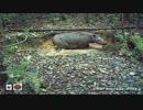 インドネシアで希少種スマトラサイを撮影