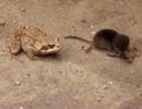 親ガエルの前で子ガエルを食べるトガリネズミの最期