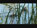石神井公園でカルガモとコイ9