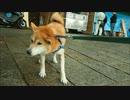 帰りたくない柴犬クッキーさん 嵐山散歩1