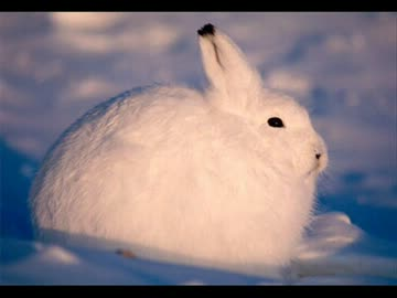 The feeling of Koreani when the polar rabbit stands up UC