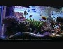【マリンアクアリウム】60cmサンゴ水槽の紹介