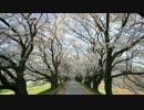 京都の桜・桜の開花状況(2014/4/2)