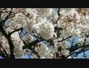 【皇居】乾通りの桜