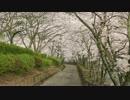 京都の桜の開花状況(2014/4/6)