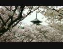 京都桜の開花状況(2014/4/13)