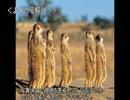 ゆっくり動物雑学「繁殖期のミーアキャットのメスは…」