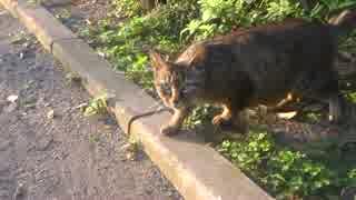 【猫の去勢後検証】暴虐のキジトラ、去勢
