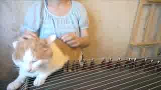 【古筝】最凶の練習曲 千本桜【演奏して