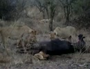 子ライオンがバッファローの肛門に頭を突っ込んで瀕死の状態に