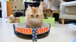 【マンチカンズ】爪研ぎでお尻を拭く猫
