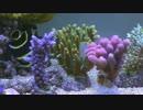 【アクアリウム】ZEOvit サンゴ(SPS)水槽 2014/07【FullHD 60p】