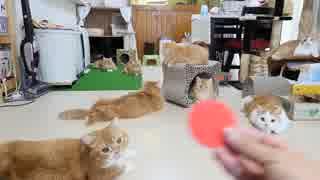【マンチカンズ】猫一家の反射神経を比べてみた