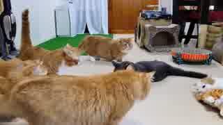 【マンチカンズ】猫ぬいぐるみの爆笑が激しすぎる