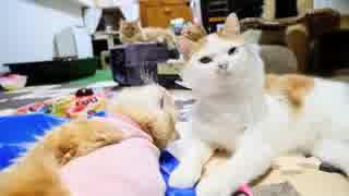 【マンチカンズ】巻き猫(兄の愛伝わらず)