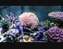 【立上げ18日目】復活のサンゴ水槽記録動画その1【海水水槽】