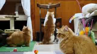 【マンチカンズ】猫が円盤を追ってスッテン