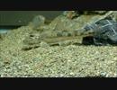 日本淡水魚メイン 90cm水槽 その3