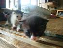 産まれたて子猫3匹がよちよち歩くよ