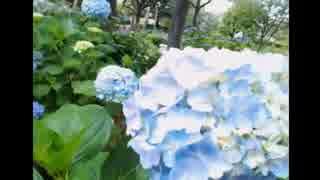2014年06月13日 あじさいと湖とこもれび通り - あじさい公園