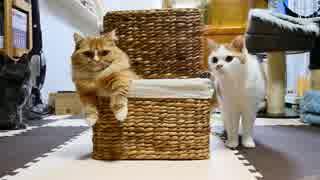 【マンチカンズ】かご猫マンチカン