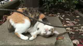 かつてないまたたび酔いを見せる三毛猫リ