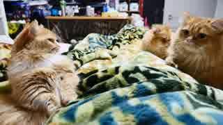 【マンチカンズ】猫が布団に群がってゴロン