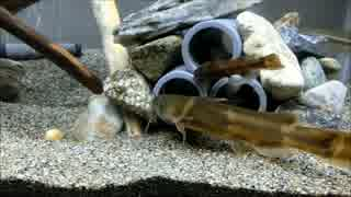 日本淡水魚 底モノ60cm水槽 その2