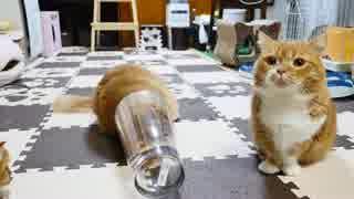 【マンチカンズ】短足猫マンチカンの宿命