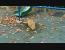 【公園猫戦争】公園の茶トラ猫兄弟、色々あったが穴に帰る