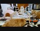 【マンチカンズ】IKEAのベッドが猫にぴったり