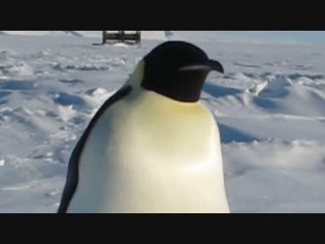 南極で出会った紳士的な皇帝ペンギン