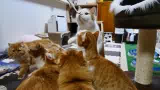 【マンチカンズ】猫さん電動歯ブラシに集合