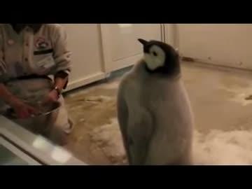 威武堂々とエサをねだる皇帝ペンギンの赤ちゃん