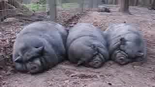 黒い三元豚