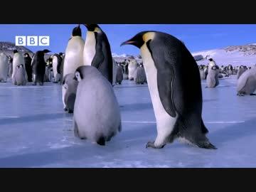 つるつる滑っちゃう皇帝ペンギンのヒナ