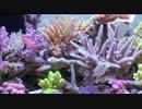 【アクアリウム】ZEOvit サンゴ(SPS)水槽 2015/01【FullHD 30p】