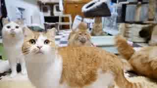 【マンチカンズ】猫たちの激しい豆まき