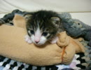 【子猫】温めたペットボトルを母猫代わりにする【保護動画】