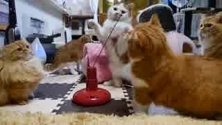 【マンチカンズ】うちの猫の反射神経が可哀想