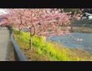 【車載動画】本州最速で満開になった河津桜を見に行ってきた