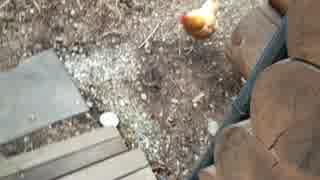 ニワトリと歩く thumbnail