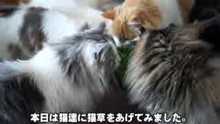 【#358】 猫草と猫 【猫万歳】