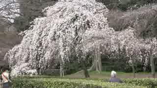 春の京都(2015/3/22)