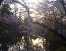 オリジナル曲「湖上の桜」