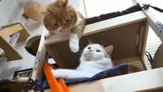 【マンチカンズ】自動猫じゃらしに興奮するマンチカン一家